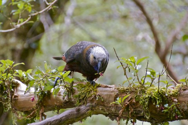 Kaka on a branch, New Zealand 2011