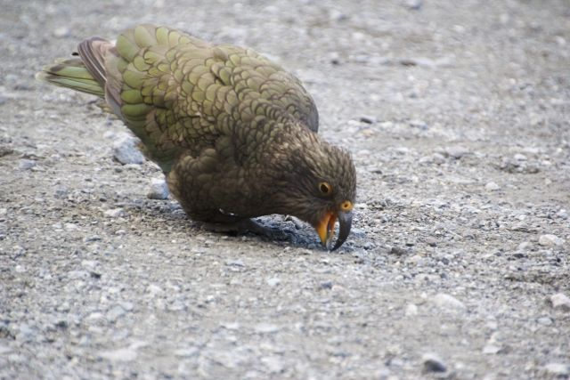 Kea showing off, Homer Tunnel, New Zealand 2011