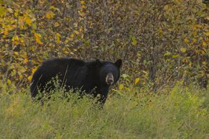 Black Bear, Liard Hot Springs